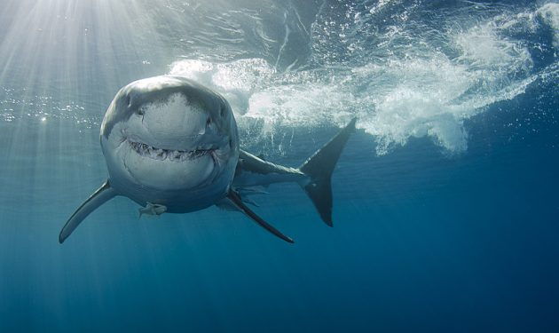 Ominous Background Music Gives Sharks A Bad Rap | STEAM Register